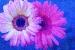 wild-daisy